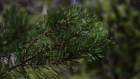O abeto está na floresta filme