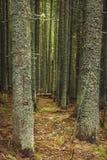 O abeto guarda na entrada de uma floresta escura da montanha com pinhos e abetos, musgo, líquenes e trajetos fotografia de stock royalty free