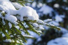 O abeto ramifica na neve no frio fotos de stock royalty free