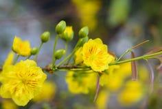 O abricó floresce planta do rato de mickey Imagem de Stock Royalty Free
