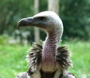 O abutre de Griffon Gyps o fim do fulvus acima imagens de stock royalty free