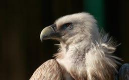O abutre de griffon Himalaia Gyps o himalayensis Fotos de Stock Royalty Free