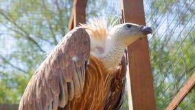 O abutre de griffon no fim selvagem acima filme