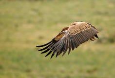 O abutre de Griffon voa os campos imagem de stock royalty free