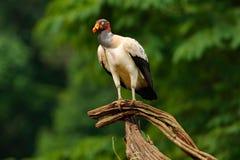 O abutre de rei, Costa Rica, grande pássaro encontrou em Ámérica do Sul Cena dos animais selvagens da natureza tropica Condor com imagens de stock royalty free