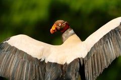 O abutre de rei, Costa Rica, grande pássaro encontrou em Ámérica do Sul Cena dos animais selvagens da natureza tropica Condor com fotografia de stock