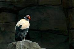 O abutre de rei, Costa Rica, grande pássaro encontrou em Ámérica do Sul Cena dos animais selvagens da natureza tropica Condor no  imagens de stock