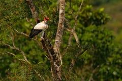 O abutre de rei, papá de Sarcoramphus, grande pássaro encontrou em central e em Ámérica do Sul Abutre de rei na árvore Pássaro, f fotos de stock