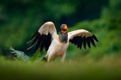O abutre de rei, papá de Sarcoramphus, grande pássaro encontrou em central e em Ámérica do Sul Pássaro de voo, floresta no fundo  imagem de stock