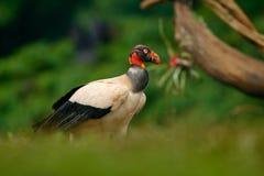 O abutre de rei, papá de Sarcoramphus, grande pássaro encontrou em central e em Ámérica do Sul Pássaro de voo, floresta no fundo  imagens de stock royalty free