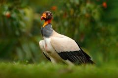 O abutre de rei, papá de Sarcoramphus, grande pássaro encontrou em central e em Ámérica do Sul Pássaro de voo, floresta no fundo  fotos de stock royalty free