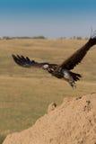 O abutre enfrentado Lappet descola Imagem de Stock