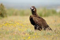 O abutre preto levanta na mola fotografia de stock