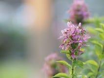 O ACANTHACEAE violeta prudente azul de Lindau do andersonii de Pseuderanthem da flor do ixora no espaço do fundo do borrão para e fotos de stock royalty free