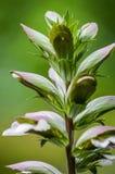 O Acanthus floresce o close up Imagem de Stock Royalty Free