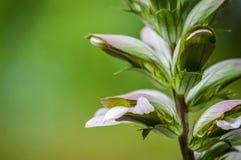 O Acanthus floresce o close up Fotos de Stock