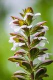 O Acanthus floresce o close up Imagens de Stock Royalty Free