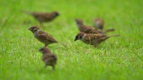 O achado exuberante do grupo do pardal e come o alimento no assoalho/terra das gramas no jardim e no parque vídeos de arquivo