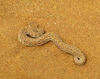 O adicionador de Peringuey venenoso ou serpente sidewinding do adicionador (peringueyi do Bitis) na areia namibiana alaranjada do Imagens de Stock
