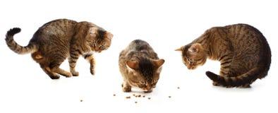 O adulto bonito listrou o gato doméstico do gato malhado em poses diferentes - Imagens de Stock Royalty Free