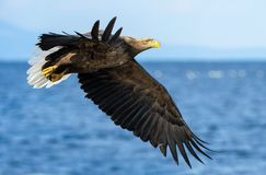 O adulto Branco-atou a pesca das águias Fundo azul do oceano Nome científico: Albicilla do Haliaeetus, igualmente conhecido como  foto de stock