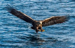 O adulto Branco-atou a pesca das ?guias Front View Fundo azul do oceano Nome científico: Albicilla do Haliaeetus, igualmente conh imagem de stock