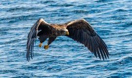 O adulto Branco-atou a pesca das ?guias Front View Fundo azul do oceano Nome científico: Albicilla do Haliaeetus, igualmente conh fotos de stock