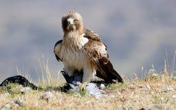 o adulto carreg a águia com uma rapina no campo fotos de stock