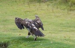 O adulto Lappet-enfrentou o abutre Fotos de Stock