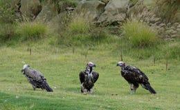 O adulto Lappet-enfrentou abutres Imagem de Stock Royalty Free