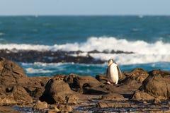 O adulto NZ Amarelo-eyed o pinguim ou o Hoiho na costa imagens de stock royalty free