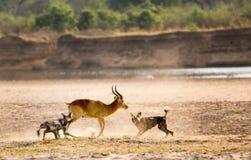 O africano pintou o cão que alimenta em uma matança viva do puku no parque nacional sul de Luangwa, Zâmbia Foto de Stock
