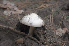 O agaric do grisette da montanha com uma forma perfeita lisa abobadou o tampão, Imagem de Stock Royalty Free