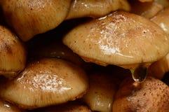 O agaric do mel cresce rapidamente molhado com uma gota da água no amanhecer Imagens de Stock