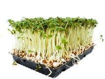 O agrião planta o crescimento em uma bandeja preta pequena fotos de stock royalty free