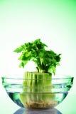 O aipo crescente sae na bacia de vidro com água no inclinação verde Imagens de Stock