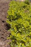 O aipo fresco cresce em uma exploração agrícola orgânica pequena Fotos de Stock Royalty Free