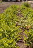 O aipo fresco cresce em uma exploração agrícola orgânica pequena Imagem de Stock