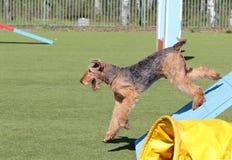 O Airdale Terrier no treinamento na agilidade do cão Fotografia de Stock