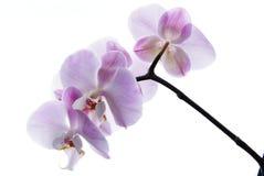 O aislado orquídea rosada Imágenes de archivo libres de regalías
