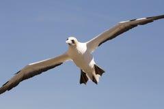 O albatroz dos raptores do cabo visita - a baía Nova Zelândia do ` s de Hawke Imagem de Stock