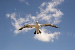 O albatroz dos raptores do cabo visita - a baía Nova Zelândia do ` s de Hawke Foto de Stock Royalty Free