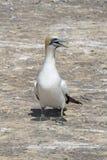 O albatroz dos raptores do cabo visita - a baía Nova Zelândia do ` s de Hawke Fotos de Stock Royalty Free