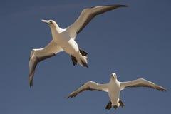 O albatroz dos raptores do cabo visita - a baía Nova Zelândia do ` s de Hawke Fotografia de Stock Royalty Free