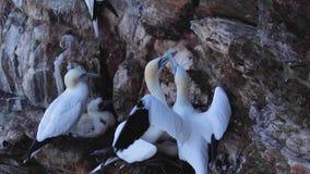 O albatroz e o pintainho, Morus, em uma cara do penhasco em tropas dirigem, aberdeenshire, fim de julho, scotland video estoque
