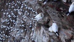 O albatroz e o pintainho, Morus, em uma cara do penhasco em tropas dirigem, aberdeenshire, fim de julho, scotland vídeos de arquivo