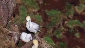 O albatroz e o pintainho, Morus, em uma cara do penhasco em tropas dirigem, aberdeenshire, fim de julho, scotland filme