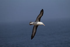 O albatroz sobrancelhudo preto voa sobre o oceano Fotografia de Stock Royalty Free