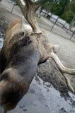 O alce, e o alce, são um mamífero fender-hoofed imagens de stock royalty free