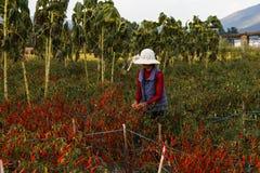 O aldeão escolhe pimentas durante a estação da colheita em Yunnan foto de stock